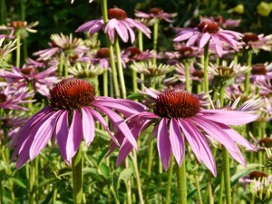 Echinacea Herbal Remedies South West England